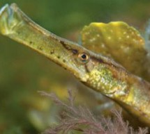 Papa pipefish's pregnancy good for young's immunity
